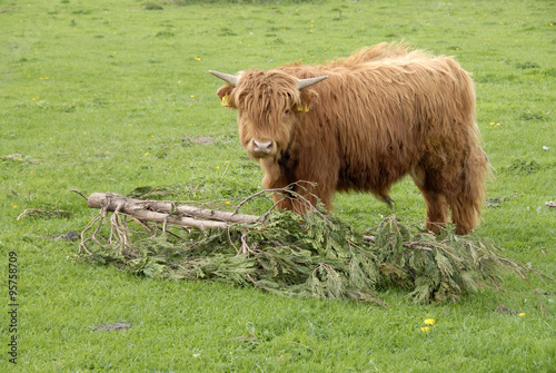 Door stickers Buffalo schotse hooglander eet van grote tak in de vrije natuur.
