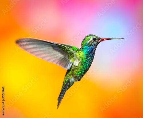Fotografia Broad billed Hummingbird
