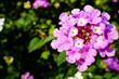 ピンクの花(ランタナ)