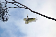 Sulphur Crested Cockatoo Flying
