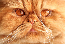 Persian Red Cat Muzzle With Big Orange Eyes