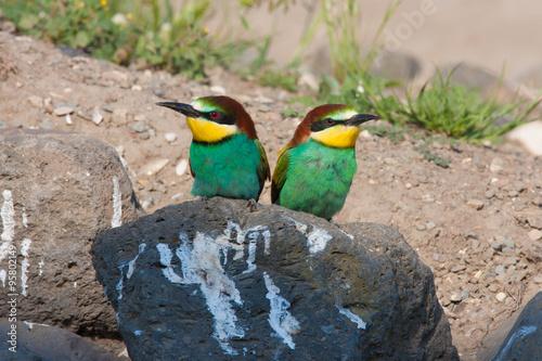 Fotografie, Obraz  European bee-eater, Merops apiaster
