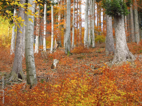 Deurstickers Herfst small trees with orange leaves and big gray trunks of old beeches in autumn forest
