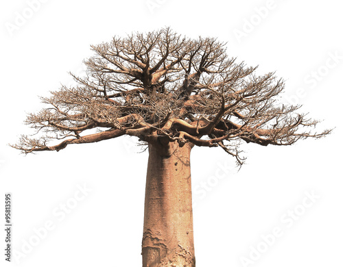 Fotobehang Baobab Isolated Baobab