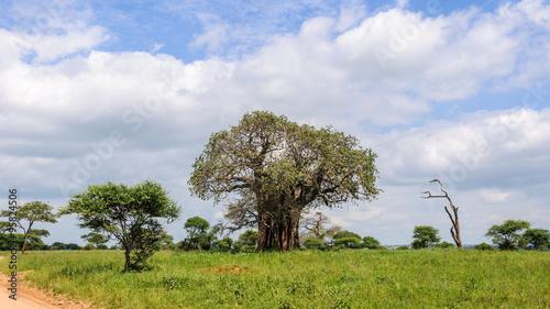 Poster Baobab Baobab tree in the Tarangire Park, Tanzania