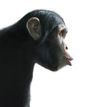 Surprised Chimpanzee Isolated ...