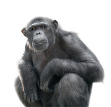 Chimpanzee Looking With Attent...