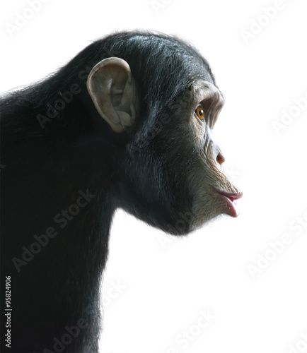 Fototapeta Surprised chimpanzee isolated on white