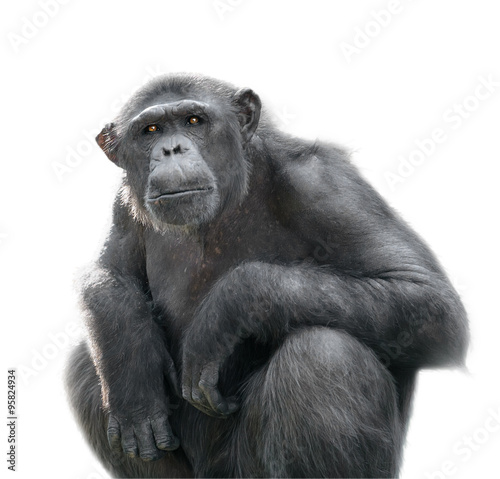 Photo Chimpanzee looking with attention isolated on white