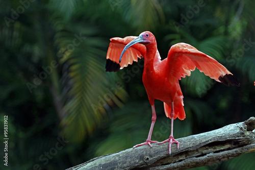 Photo  Scarlet ibis bird