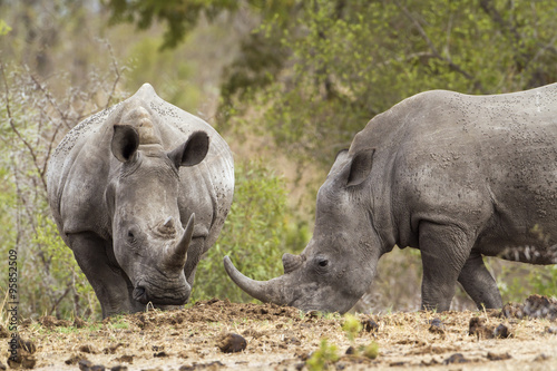 Poster Rhino Southern white rhinoceros in Kruger National park