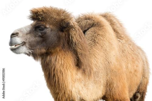 Spoed Fotobehang Kameel Portrait of Camel