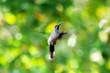 Leinwandbild Motiv ein schöne Kolibri vor grünem Hintergrund