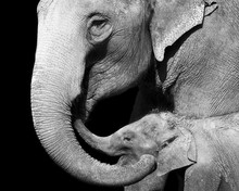 Black And White Portrait Of An Elephant And Her Baby