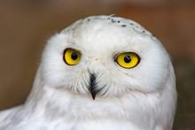 Snowy Owl In Antwerp Zoo, Belg...