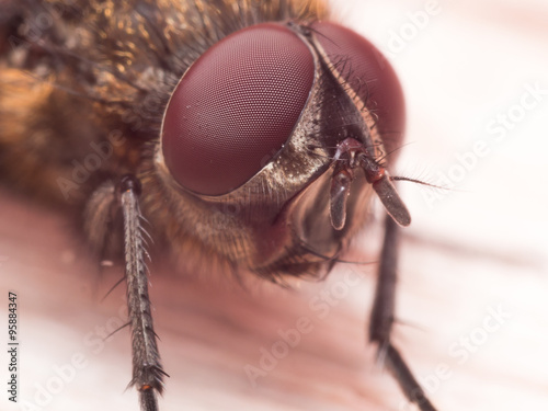 Fotografie, Obraz  Extreme Close up Portrait of Brown House Fly with Dark Red Compo