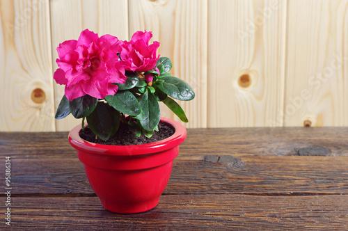 Papiers peints Azalea Red Azalea flower