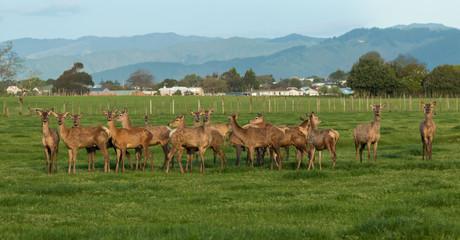 Naklejka na ściany i meble Herd of New Zealand Deer