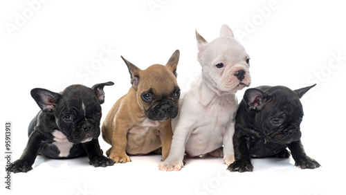 Poster Bouledogue français puppies french bulldog