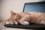 Fototapeta Zwierzęta - Sen kota na laptopie