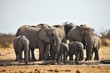 African elephants, Loxodon africana, runs a waterhole Etosha, Namibia