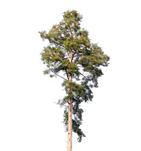 Tall European Pine Tree Isolated On White