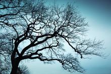 Old Leafless Bare Tree Over Bl...