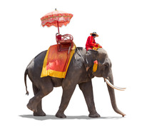 Elephant For Tourists In Thail...