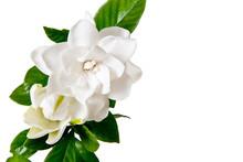 White Gardenia Blossom Isolate...