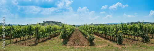 Foto op Plexiglas Wijngaard Vineyard rows with blue sky