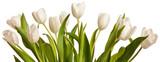 Fototapeta Tulipany - Spring Tulips in white