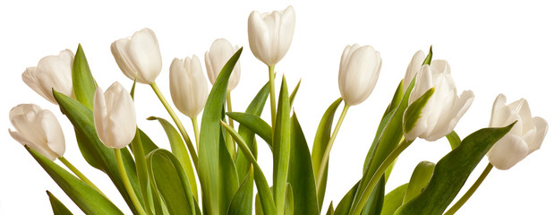 Spring Tulips in white