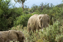 Elefant - ZA