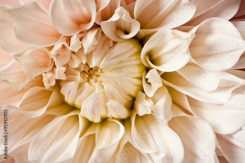 Dahlia Flower Blossom Petals Background