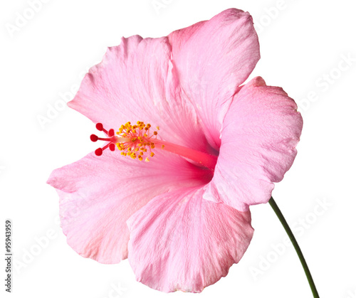 Fotografía Pink hibiscus isolated