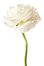 White Ranunculus Isolated On A...