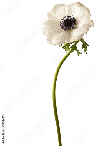 Fotomural Black and White Anemone Isolated on a White Background