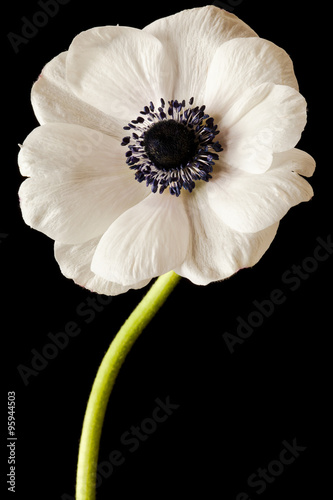 Black and White Anemone Isolated on a Black Background Canvas Print