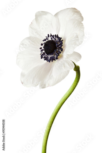 Photo Black and White Anemone Isolated on a White Background