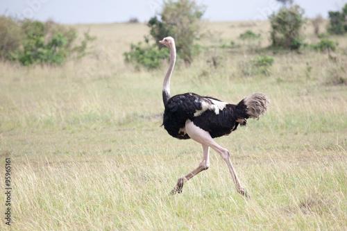 Staande foto Struisvogel Male of African ostrich (Struthio camelus) running in Masai Mara Reserve, Kenya, Africa