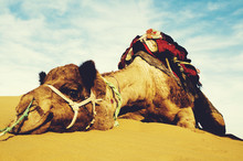 Cutest Camel Resting In The De...