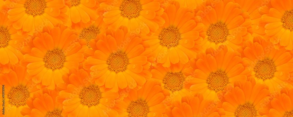 Fototapety, obrazy: Calendula Flower Background