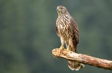 Young Sparrow Hawk (Accipiter ...