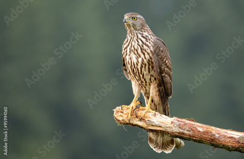 Young Sparrow hawk (Accipiter gentilis) Poster