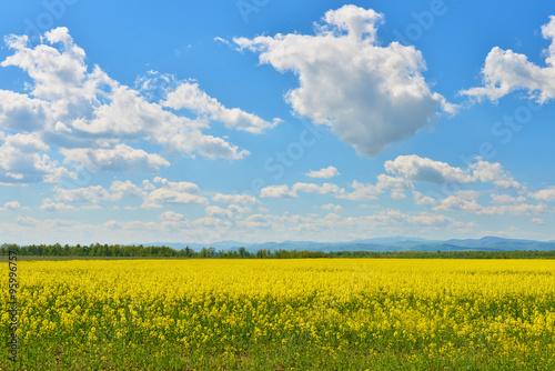 Foto op Plexiglas Weide, Moeras Field of rape in spring countryside