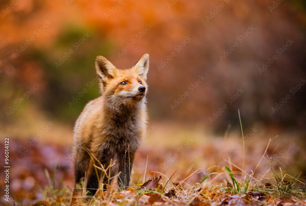 Fototapety, obrazy: Fox (Vulpes vulpes) in europe forest