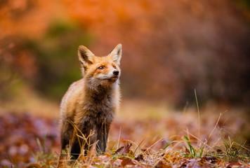 Fototapeta Fox (Vulpes vulpes) in europe forest