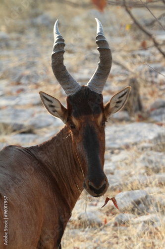 Photo Stands Antelope Kuhantilopen im Etoscha Nationalpark in Namibia