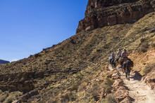 Mulis On Grand Canyon Trail