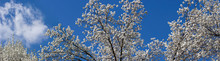 Panorama Of Bradford Pear Trees In Bloom Against The Blue Sky